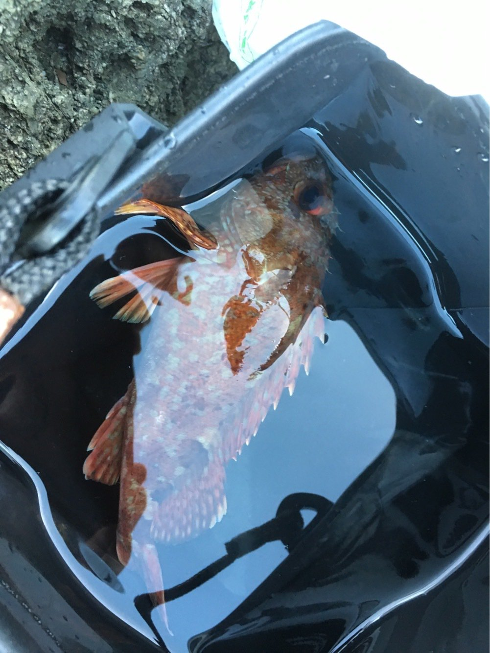 坊主太郎さんの投稿画像,写っている魚はカサゴ
