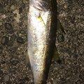 かわぽんさんの和歌山県での釣果写真