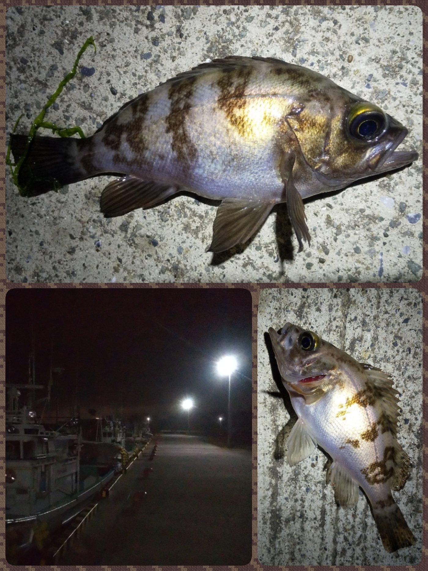 Tomo_Pandaさんの投稿画像,写っている魚はメバル