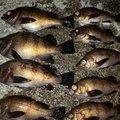 スジカイさんの富山県での釣果写真