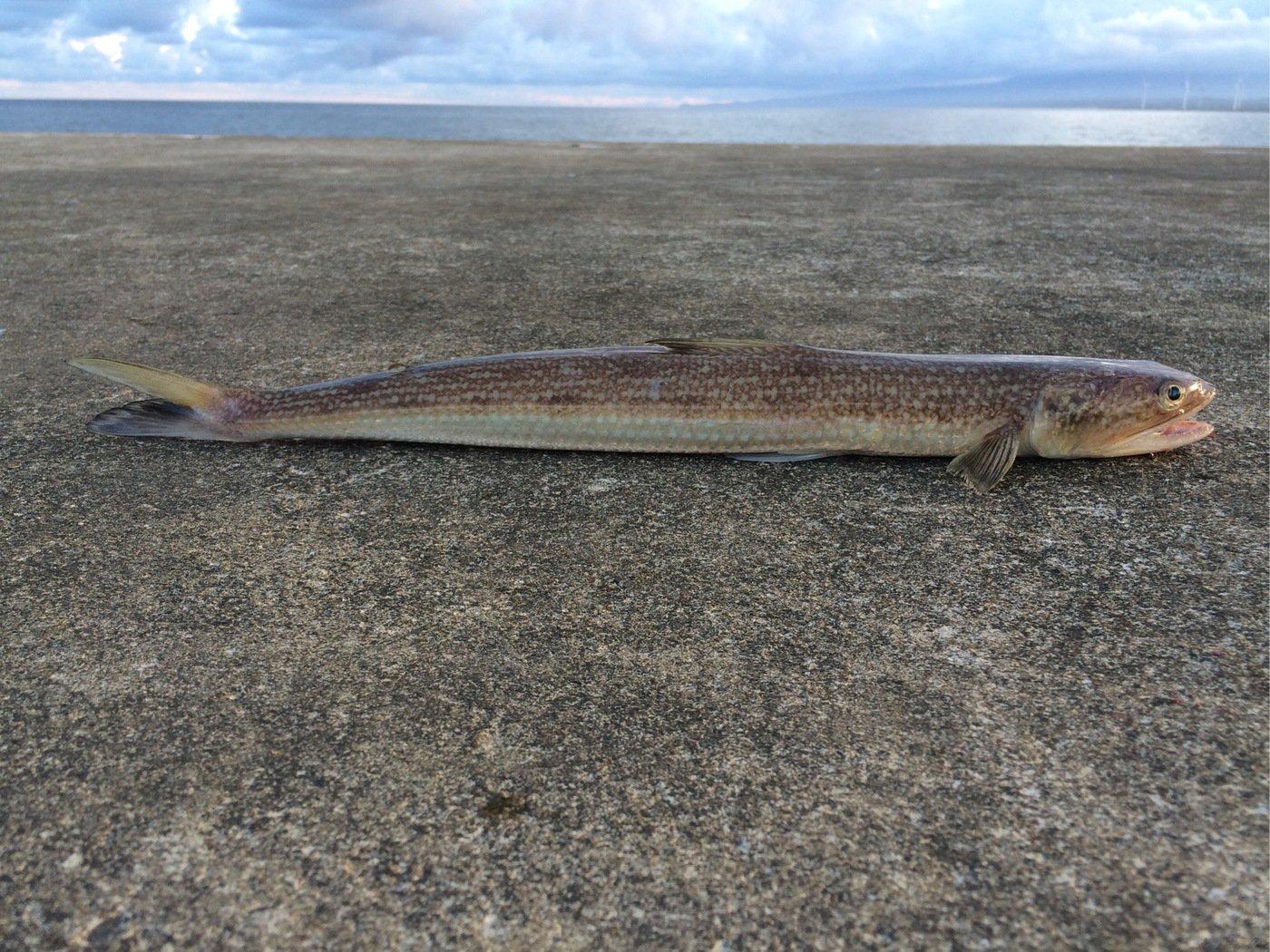 gonzuimaniacさんの投稿画像,写っている魚はエソ