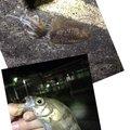 しださんの兵庫県でのメバルの釣果写真