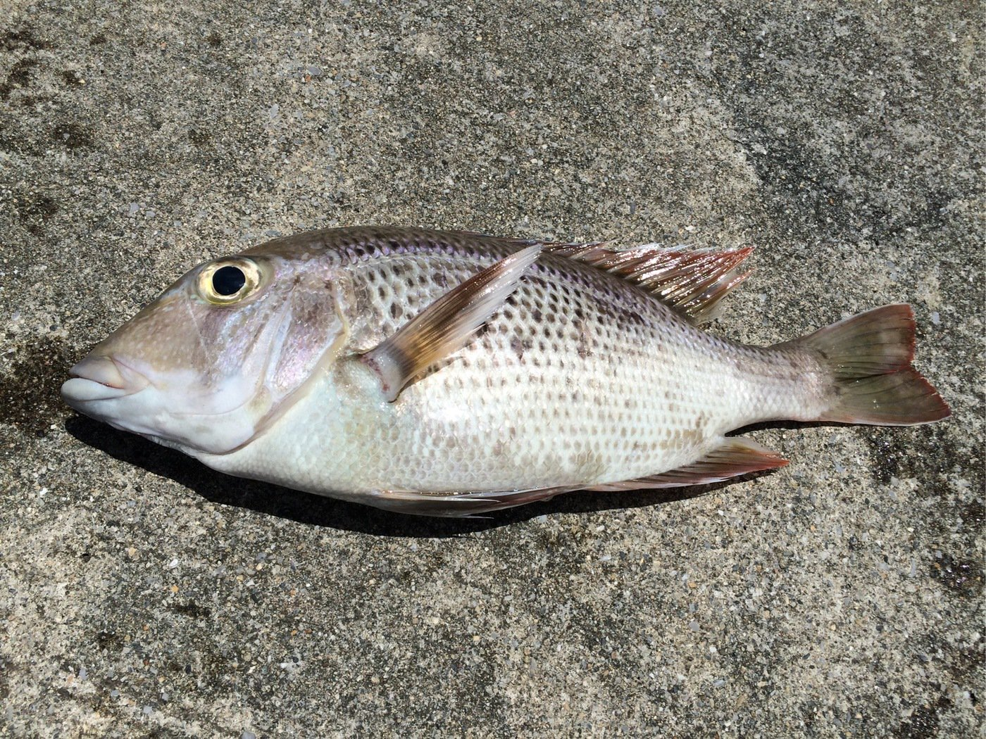 gonzuimaniacさんの投稿画像,写っている魚はシロダイ