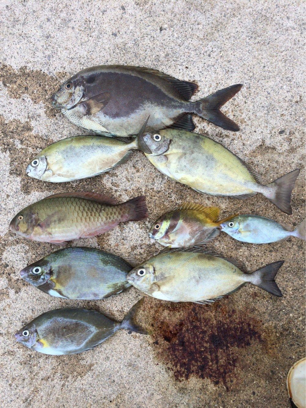 たくやさんの投稿画像,写っている魚はアイゴ