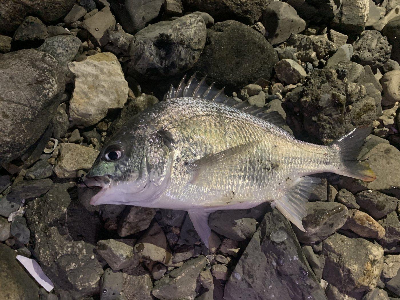 キビやんさんの投稿画像,写っている魚はキチヌ