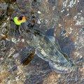 しまでんさんの青森県でのアイナメの釣果写真