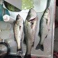 拓ニャンさんの福岡県北九州市でのスズキの釣果写真