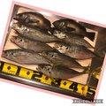 えるさんの愛媛県での釣果写真