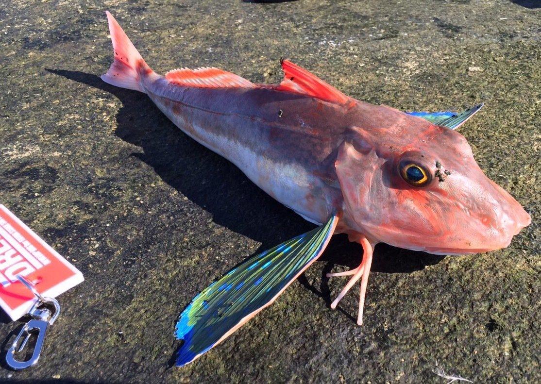 gonzuimaniacさんの投稿画像,写っている魚はホウボウ