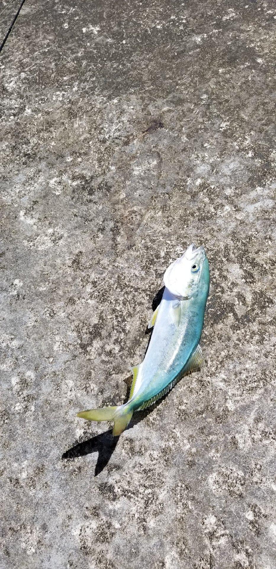 ジョーさんの投稿画像,写っている魚は