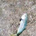 ジョーさんの秋田県での釣果写真