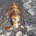 エックスさんの山口県長門市でのアオリイカの釣果写真
