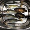 MARUさんの愛媛県での釣果写真