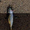 SAKUさんの山形県での釣果写真