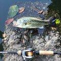 ニゴイさんの千葉県での釣果写真