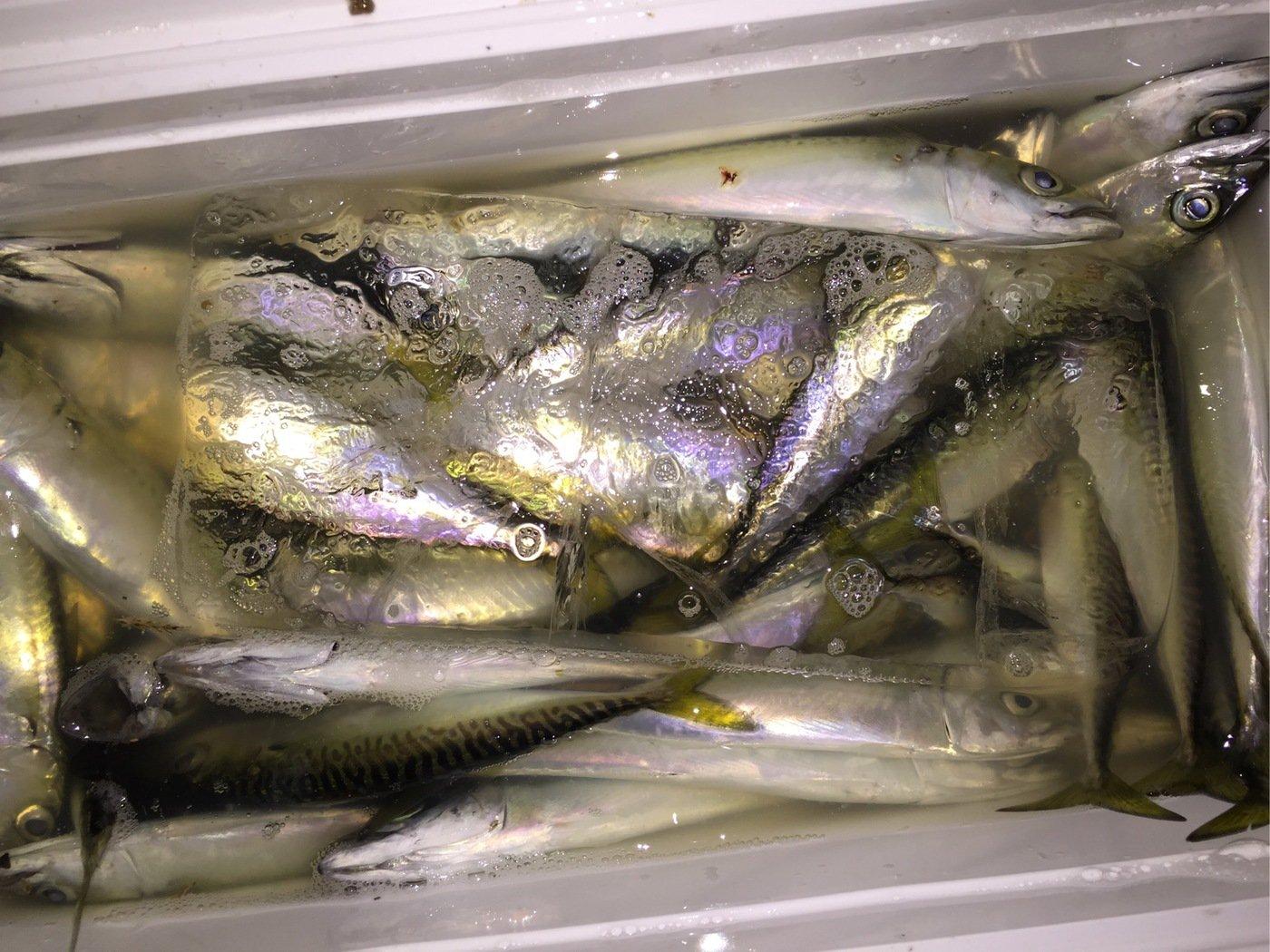 やまさんの投稿画像,写っている魚はマサバ