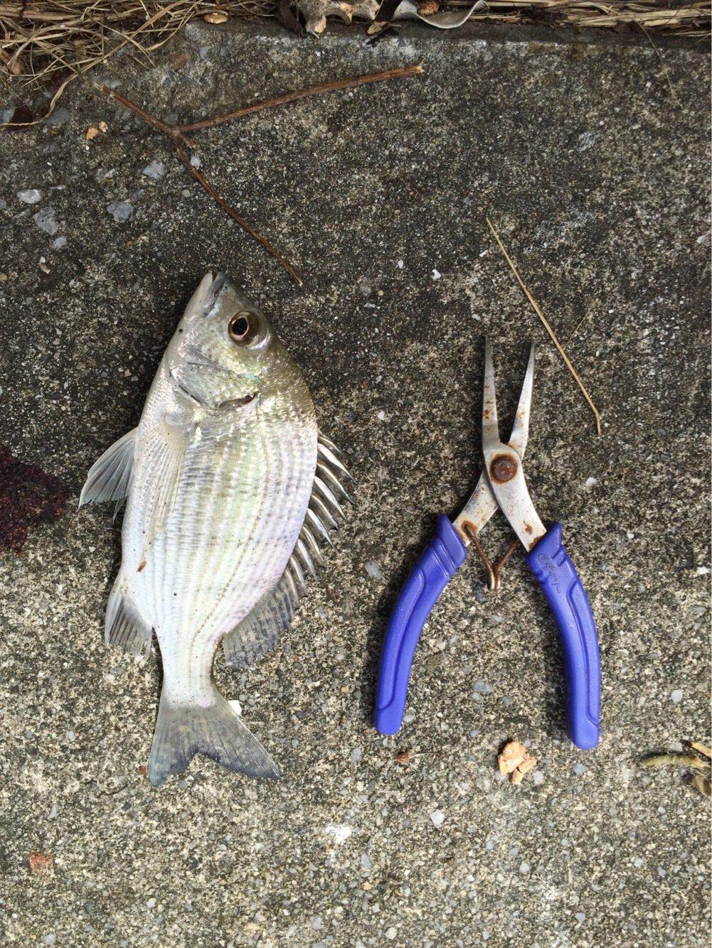 りゅういちさんの投稿画像,写っている魚はクロダイ