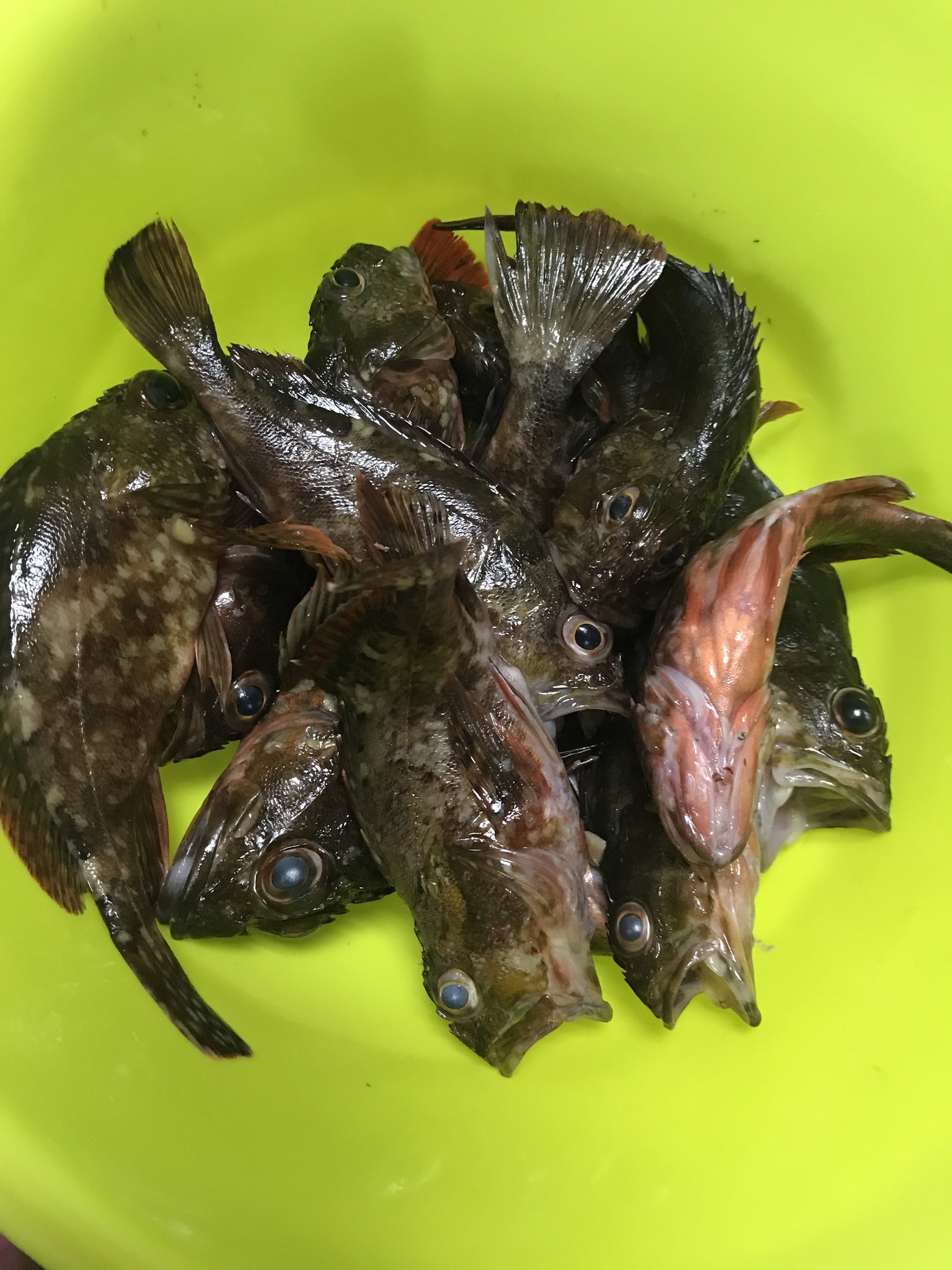 Tatyuさんの投稿画像,写っている魚はカサゴ