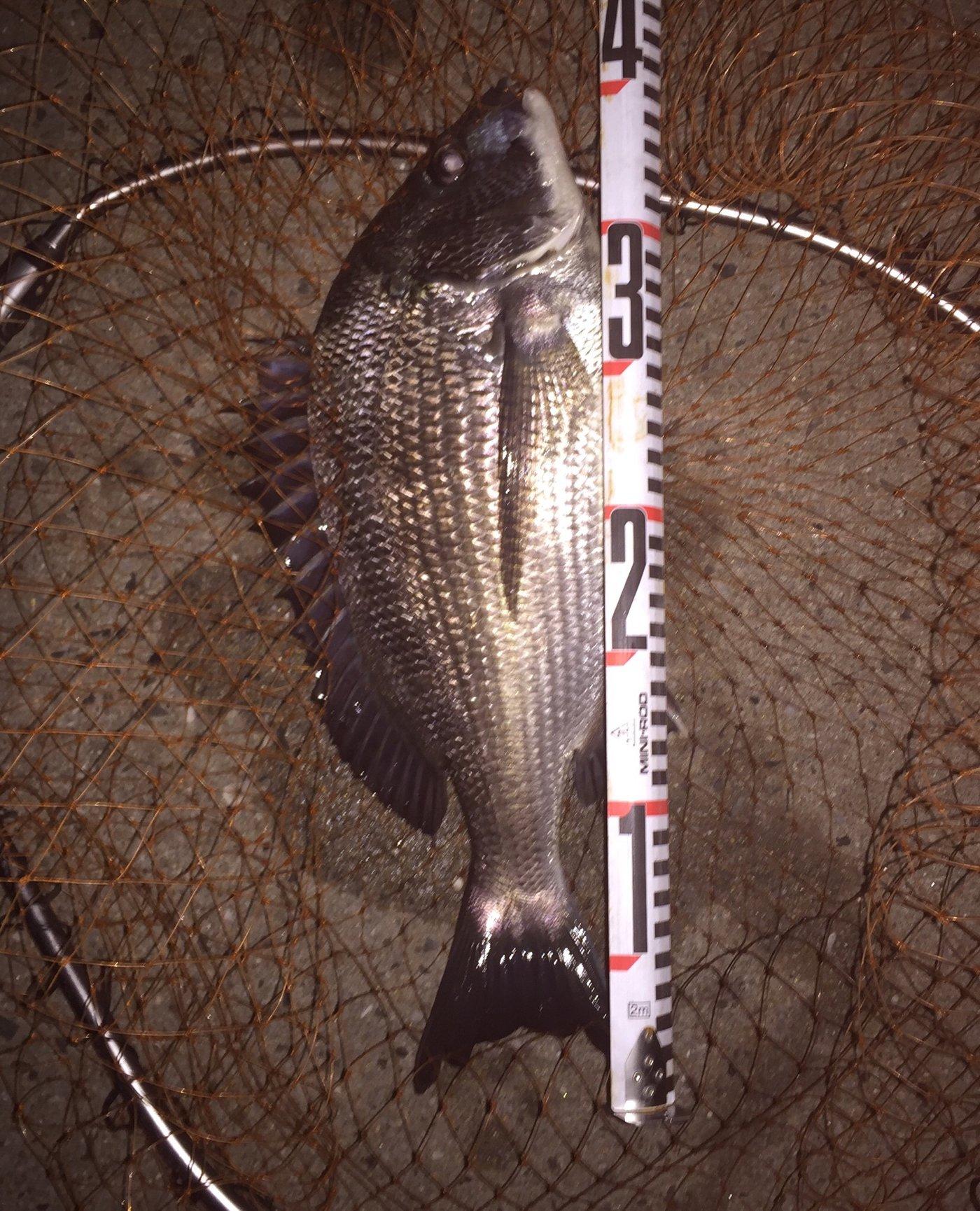 koarerさんの投稿画像,写っている魚はクロダイ,