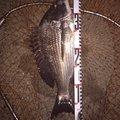 koarerさんの福岡県北九州市での釣果写真