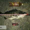 四日市アングラーさんの三重県での釣果写真