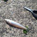 洋之☆さんの新潟県北蒲原郡での釣果写真