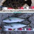 霞桜さんの青森県北津軽郡での釣果写真