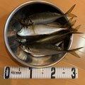 フィッシャーさんの神奈川県川崎市でのカサゴの釣果写真