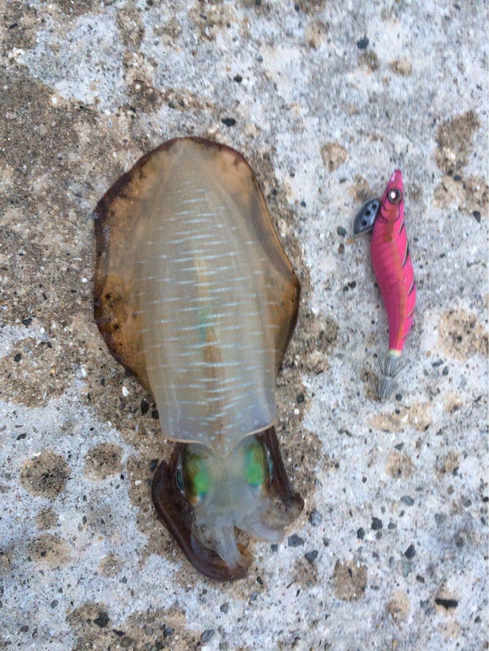イカバカさんの投稿画像,写っている魚はアオリイカ