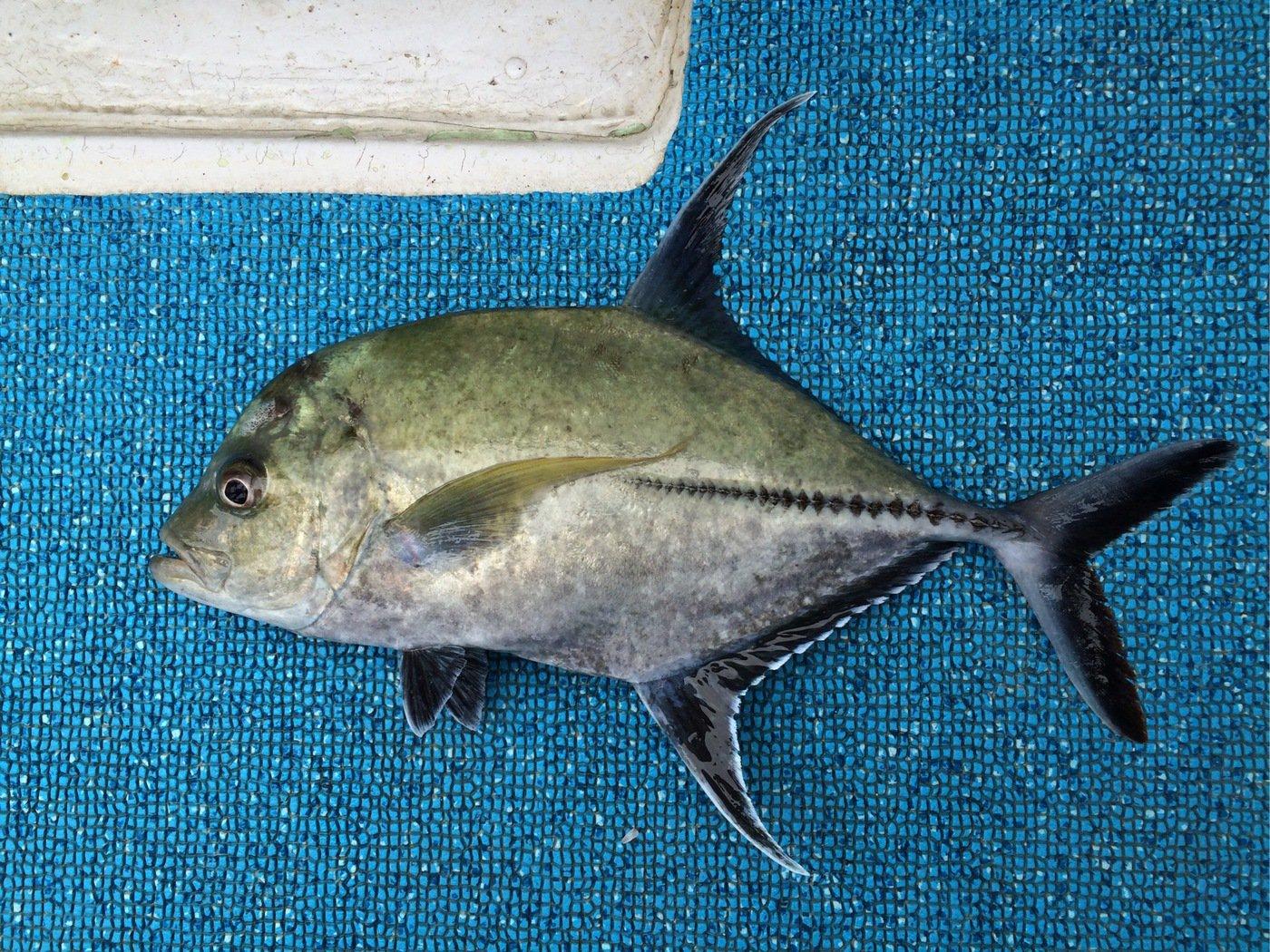 gonzuimaniacさんの投稿画像,写っている魚はカッポレ