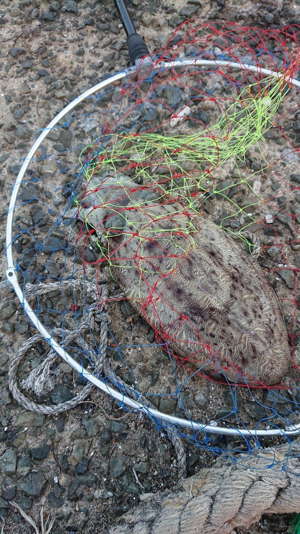 つよしさんの投稿画像,写っている魚はカミナリイカ
