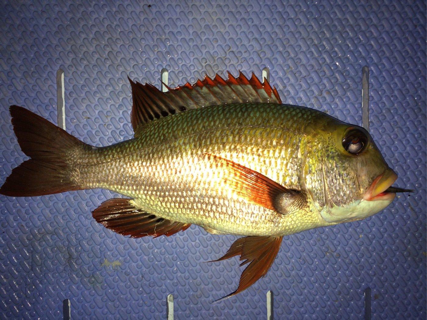 gonzuimaniacさんの投稿画像,写っている魚は
