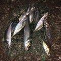 YOSHIKIさんの新潟県三条市での釣果写真