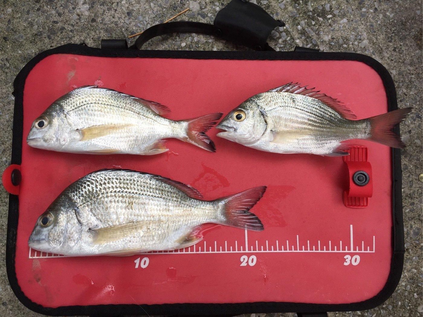 Syomaさんの投稿画像,写っている魚はクロダイ