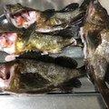 セルジオ越後さんの静岡県湖西市でのカサゴの釣果写真