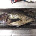 ひがきさんの愛媛県での釣果写真