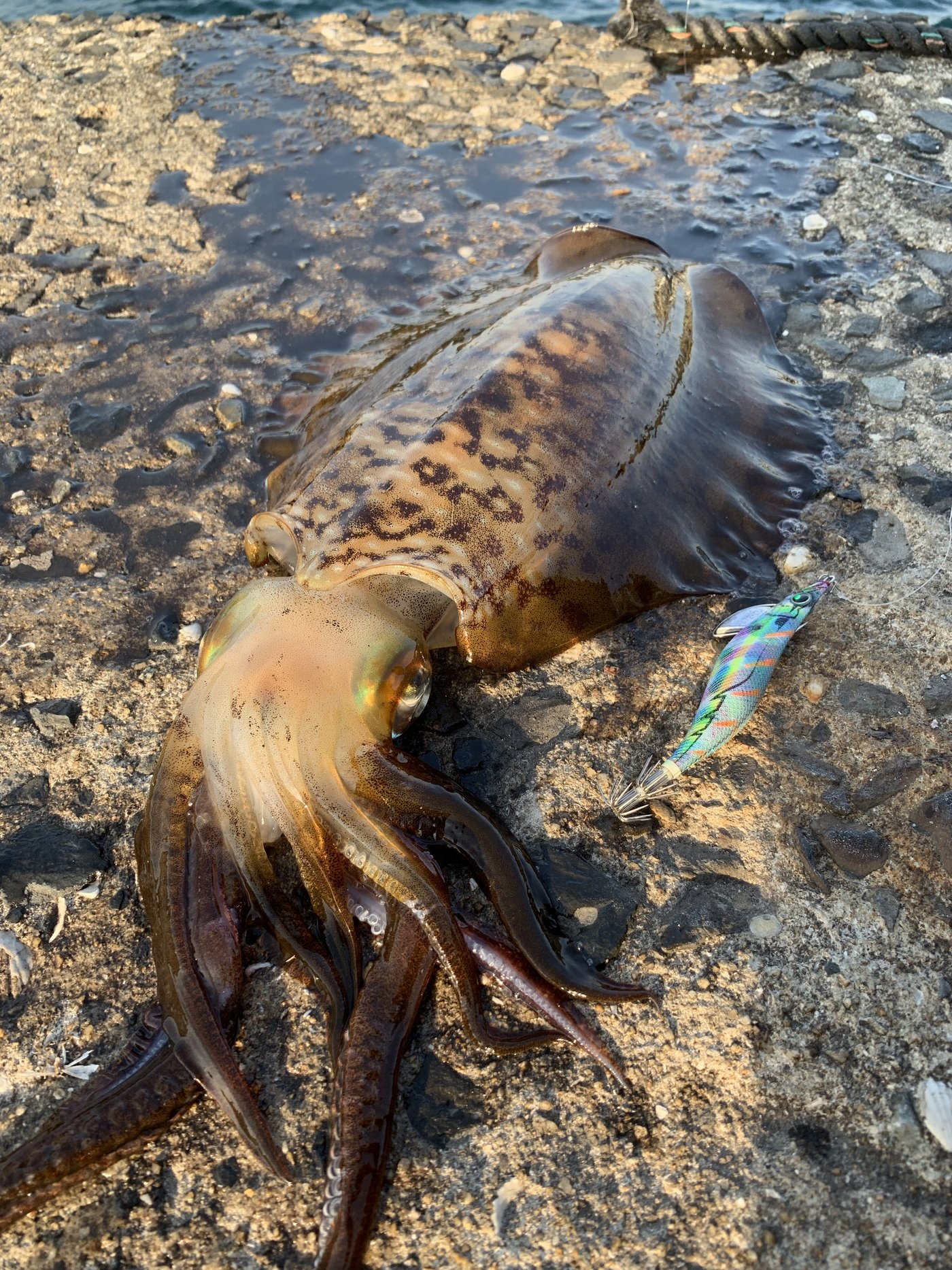 iKa.sumiさんの投稿画像,写っている魚はアオリイカ,カサゴ,エソ,ケンサキイカ