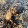 iKa.sumiさんの長崎県対馬市でのアオリイカの釣果写真