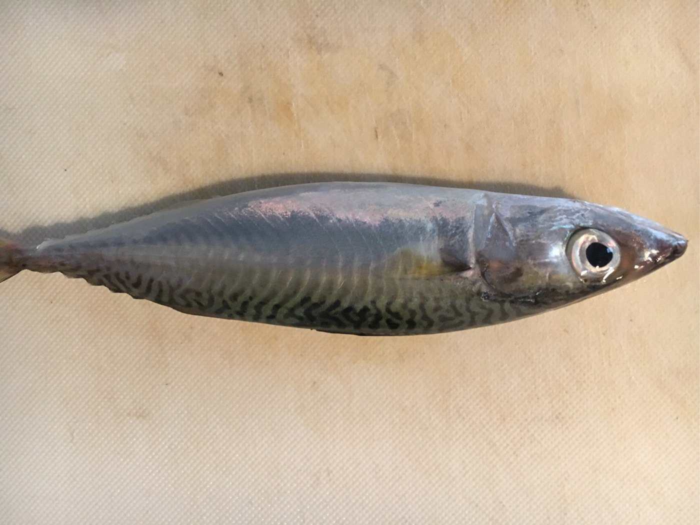 K1さんの投稿画像,写っている魚はマサバ