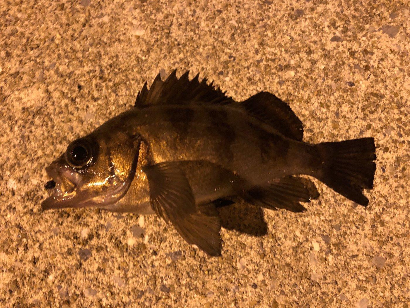 YUUHATSUさんの投稿画像,写っている魚はメバル