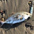 サーフルアーマンさんの静岡県御前崎市での釣果写真