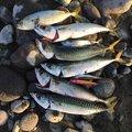 チャボさんの神奈川県での釣果写真