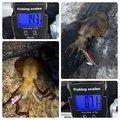 ひろさんの山口県萩市でのアオリイカの釣果写真