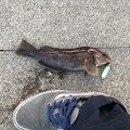 92さんの青森県でのアイナメの釣果写真