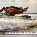 シノヤさんの愛媛県での釣果写真