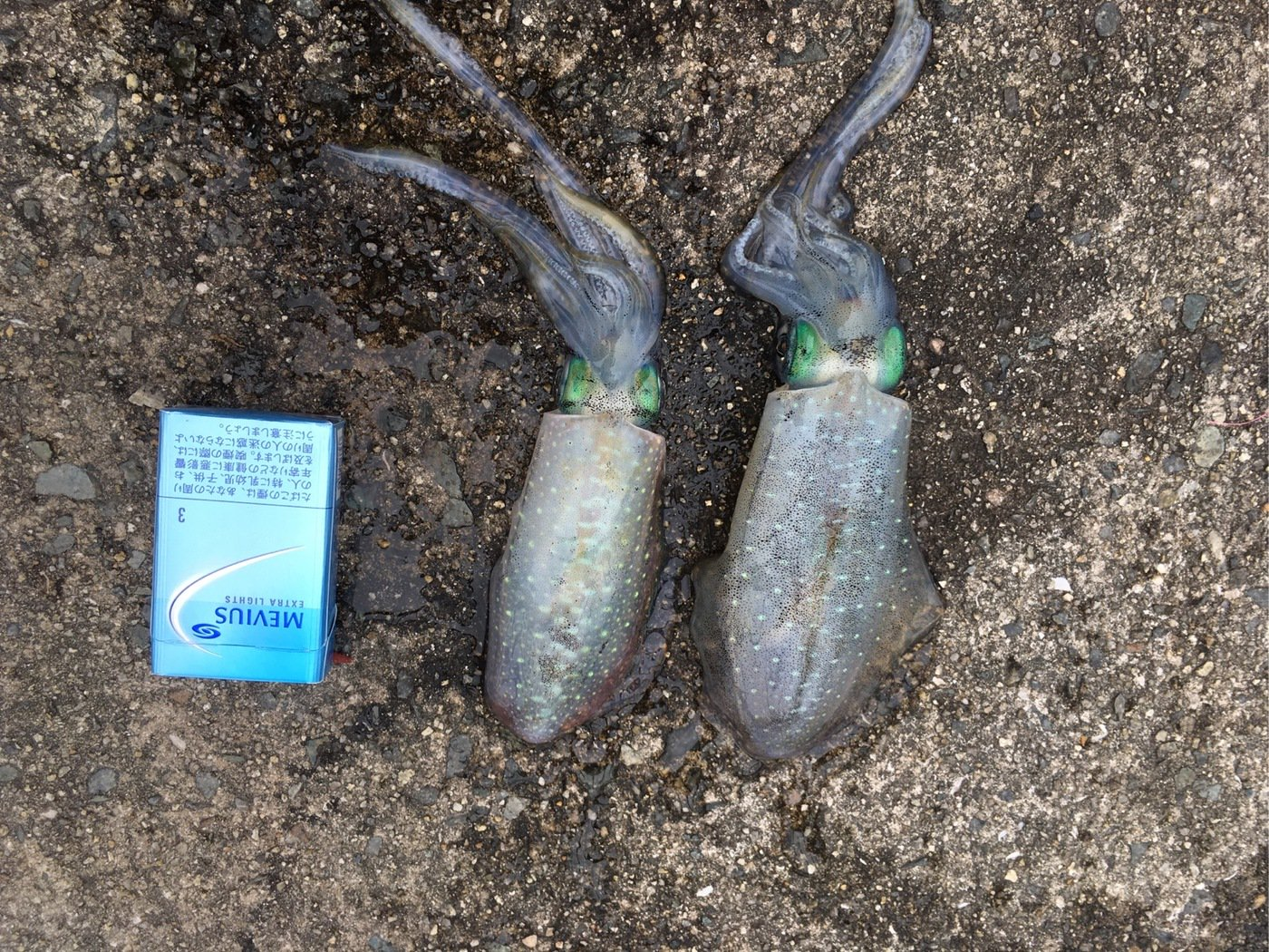 レギオンさんの投稿画像,写っている魚はアオリイカ