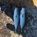 ブルーハンターもどきさんの新潟県北蒲原郡での釣果写真