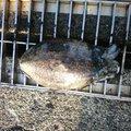 カイリオアさんのコウイカの釣果写真