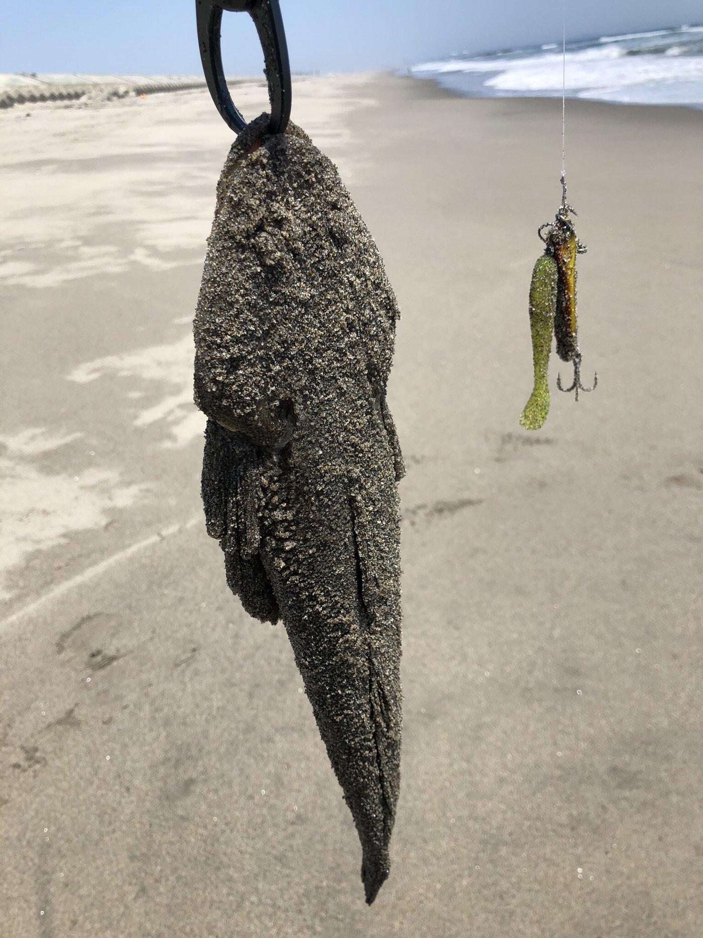 焼き鳥@つり政宗さんの投稿画像,写っている魚はコチ