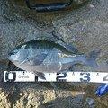 チュンチュン丸さんの千葉県での釣果写真